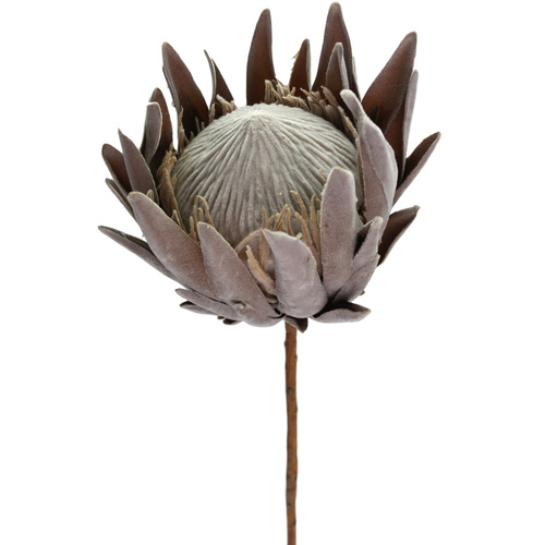Dried Look King Protea - 58cm