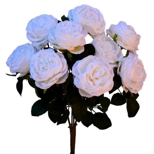 CABBAGE ROSE BUSH x 10 - 44cm / WHITE