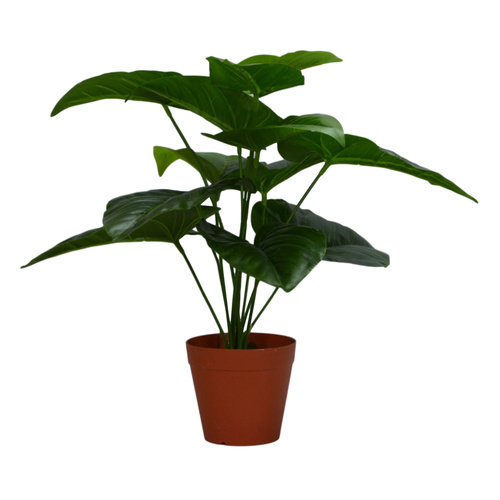 Small Potted Philodendron x 12KD - 45cmH